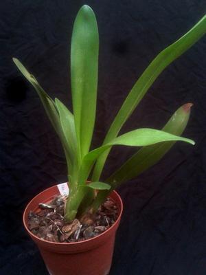 Maxillaria crassifolia - 3