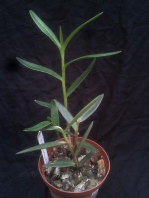 Epidendrum coronatum - 3