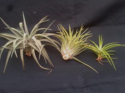 Tillandsia brachycaulos v. multiflora (velká) - 3
