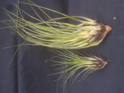Tillandsia punctulata (střední rostlina) - 3