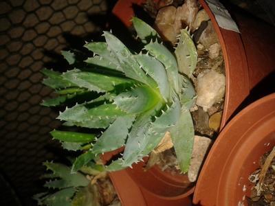 Aloe brevifolia - 3
