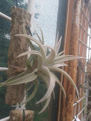 Tillandsia jequiensis - 3