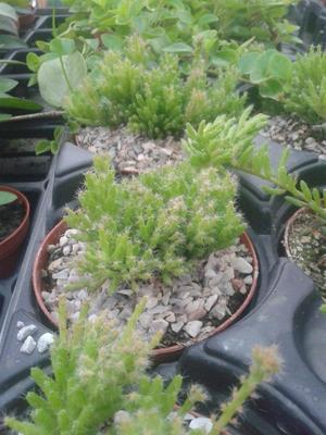 Rhipsalis mesembryanthemoides - 3