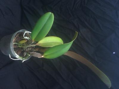 Cattleya jenmannii - 3
