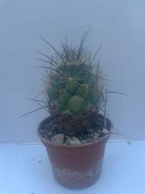 Digitorebutia pygmaea - 3