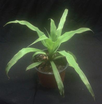 Pitcairnia macrochlamys - 3
