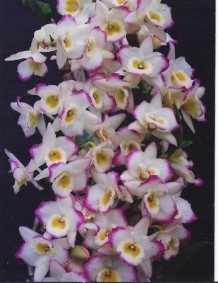 Dendrobium Chian-Tzy Darumanes 'Mona Lisa' - 3