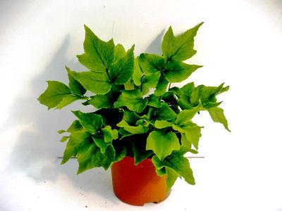 Cyrtomium fortunei 'Clivicola' (kapradina) - 3