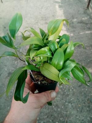 Pleurothalis rowleei v. alba - 3