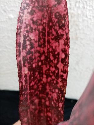 Billbergia 'Strawberry' - 3