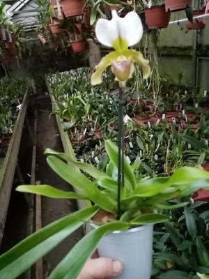 Paphiopedilum leeanum - 3