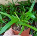 Agapanthus orientalis - 3/3