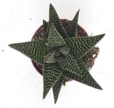 Haworthia fasciata 'Royal Albert' - 3