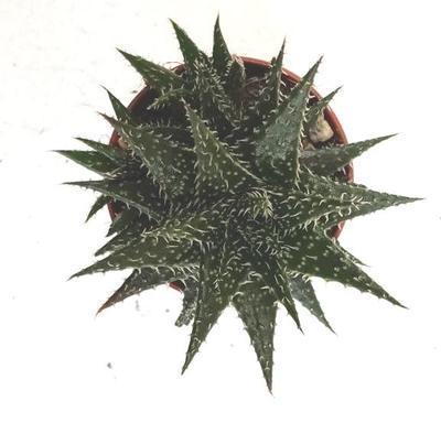 Aloe 'Pepe' - 3