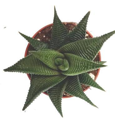 Haworthia limifolia 'Twister' - 3