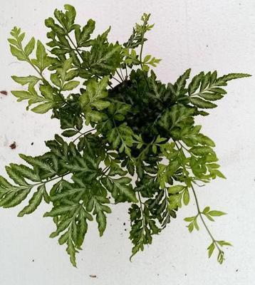 Pteris ensiformis 'Evergemiensis' (kapradina) - 3