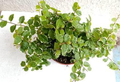 Ficus pumila 'variegata' - 3