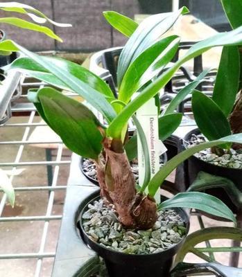 Dendrobium finisterrae - 3