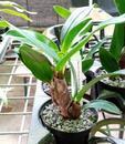 Dendrobium finisterrae - 3/3