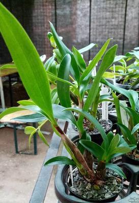 Dendrobium gordonii - 3