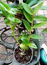 Dendrobium insigne - 3/3
