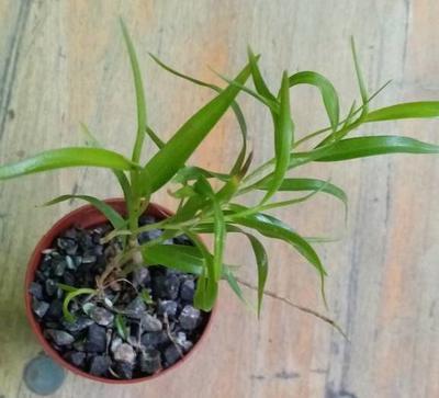 Dendrobium aurantiflammeum - 3