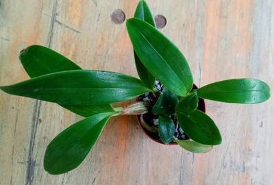 Dendrobium spectabile - 3