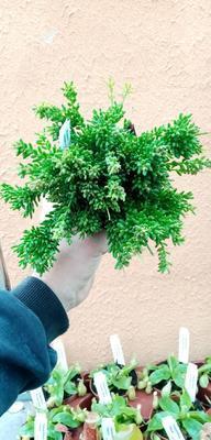 Rhipsalis mesembryanthemoides (velká rostlina) - 3