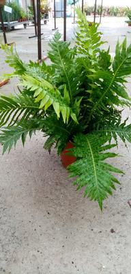 Blechnum gibbum 'Silver Lady' (kapradina) - 3