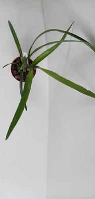 Encyclia patens x gallopavina - 3