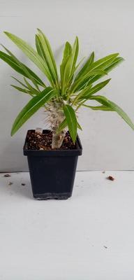Pachypodium lamerei var. ramosum - 3