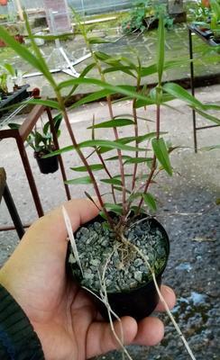 Dendrobium lancifolium - 3