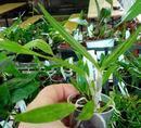 Cattleya forbesii - 3/3