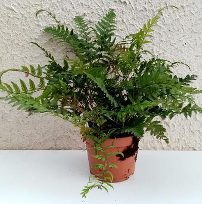 Polystichum tsus-simense (kapradina) - 3