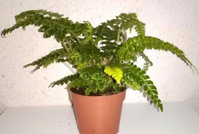 Polystichum polyblepharum (kapradina) - 3
