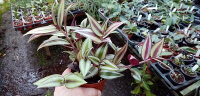 Tradescantia zebrina 'Green Grass' - 3