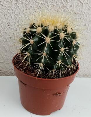 Echinocactus grusonii - 3