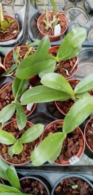 Phalaenopsis pallens - 3