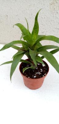 Vriesea ospinae - 3