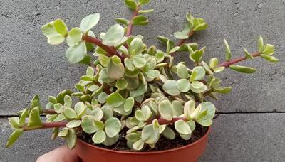 Portulacaria afra 'variegata' - 3