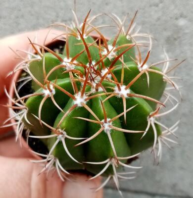 Melocactus conoideus - 3