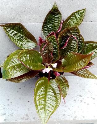 Monolena primuliflora 'Midnight Glory' - 3