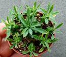 Euphorbia bupleurifolia - 3/3