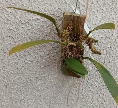 Bulbophyllum macranthum - 3