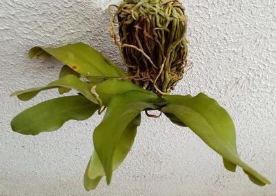 Pomatocalpa spicatum - 3