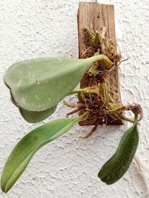 Bulbophyllum violaceolabellum - 3