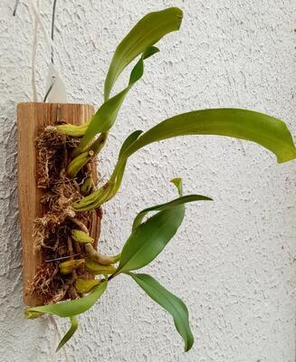 Bulbophyllum orectopetalum - 3