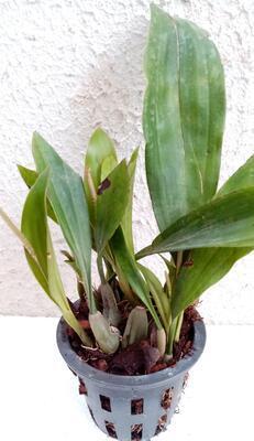 Pholidota bracteata - 3