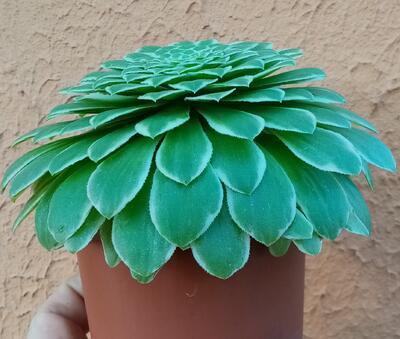 Aeonium tabuliforme 'variegata' - 3
