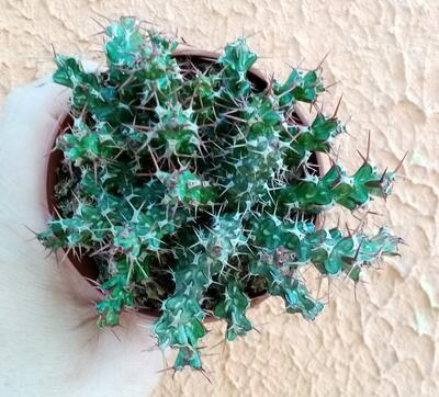 Euphorbia lenewtonii - 3